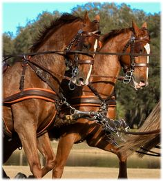 Dutch Harness Horses