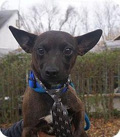 Media, PA - Miniature Pinscher Mix. Meet Frudo, a dog for adoption. http://www.adoptapet.com/pet/14395165-media-pennsylvania-miniature-pinscher-mix