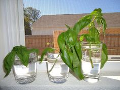 Thyme To Garden Now: Basil Propagation from Cuttings