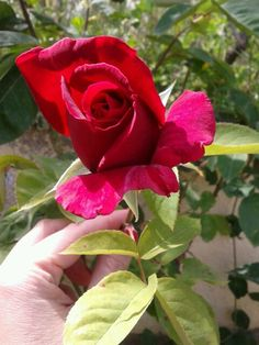 Rosa al sol