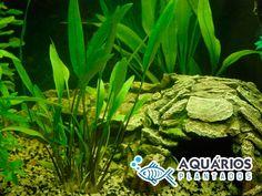 Planta de agua para aquário plantado Cryptocoryne Lucens.