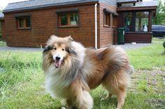 Dog - Rough Collie - DAVIS on www.yummypets.com
