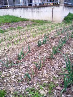 Orto biologico :Marzo 2014 :aglio e cipolla in fiore.....................Organic garden: March 2014: garlic and onion in bloom