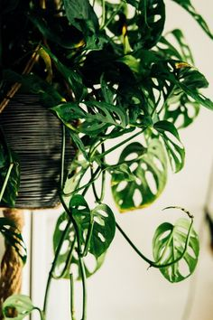 Resilient Indoor Plants Swiss Cheese vines, a.a Monstera Obliqua , have the same characteristic holes as the Fruit Salad plant.Swiss Cheese vines, a.a Monstera Obliqua , have the same characteristic holes as the Fruit Salad plant.