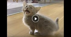 Cute Munchkin Baby Kitten Talks Too Much	►►	http://lovable-cats.com/video-cute-munchkin-baby-kitten-talks-too-much/?i=p