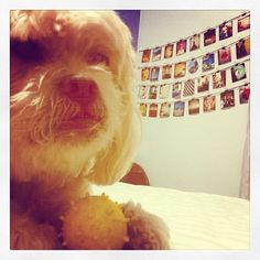 #boris #dog #dogs #pero