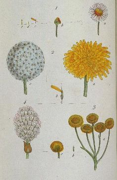 Daisy http://botanical.com/botanical/mgmh/d/daisyc03-l.jpg