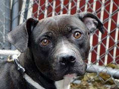 Luna DESTROYED  11/18/13 Manhattan Ctr  LUNA  #A0984735   Female blk & wht pit bull mix STRAY 11/12/13 ~ THIS IS ONLY A BABY @ 1 YR !!! Luna has not seen the best from people. What she needs is time. At the moment she is slowly warming up to strangers, in the right environment, she will learn to trust again. During her behavior exam she was tense & fearful. Some guarding issues -common w/ strays, retrainable!  Imagine what Luna can learn & share in an experienced, loving & understanding…