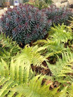 Euphorbia 'Blackbird' and Dryopteris erythrosora