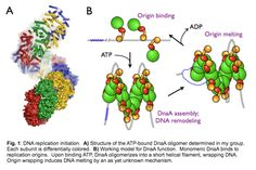 DNA Replication - Jim Berger lab - Johns Hopkins Medicine