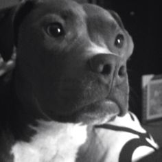 My sweet pit Tilly!