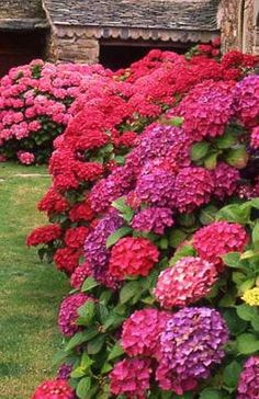 Hydrangeas -- Did you know changing aluminum in the soil changes the color of…