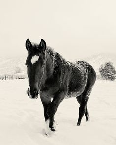 Black Horse in Winter Photography by Apples and Oats Photography