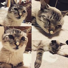 H29.5.11 昨晩のシロさん。 私が振り向いたら、鼻になんか付いとるやん😂 それなのに、無。。。 キョトンとして、そのまま寝ると言う、なんとも可愛い… おマヌケなシロさんであった。😂😂😂 ✳︎ #お久しぶりの #シロさん #おマヌケ猫 #愛猫  #シャム #シャムミックス #ネコ #cat #口内炎はすっかり良くなりました #急に治りました #シロさんの免疫力復活 と #マロンのおかげ と #我が家では言ってます #もうすぐ1年 #はやい#instacat
