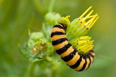Caterpillar with yellow and black stripes