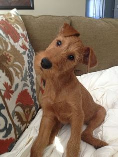 Irish Terrier- Cutest puppy ever! Cute Dogs Breeds, Best Dog Breeds, Best Dogs, Irish Dog Breeds, Terrier Dogs, Pitbull Terrier, Lakeland Terrier Puppies, Fox Terriers, Airedale Terrier