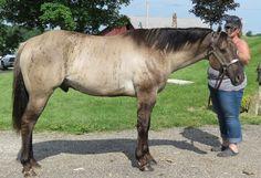 World champion Dun Factor stallion. Quality foals for sale. Pretty Horses, Beautiful Horses, Brindle Horse, American Quarter Horse, Quarter Horses, Horse Coat Colors, Horse Saddles, Western Saddles, Horse Barns