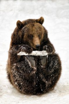 Bear by Toth Csaba Nature Animals, Animals And Pets, Baby Animals, Cute Animals, Wild Animals, Baby Pandas, Large Animals, Woodland Animals, Funny Animals