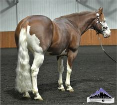 Stallion : Ju Juzz Gunslinger   Widney Ranch Paints