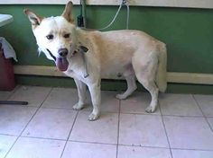 HACHI - ID#A5034369rnrnMy name is Hachi and I am described as a male, white Labrador Retriever and Siberian HuskyrnrnThe shelter thinks I am about 2 years and 4 months old.rnrnI have been at the shelter since Jun 03, 2017.rnrnFor more information about this animal, call:rnLos Angeles County Animal Control - Carson at (310) 523-9566rnAsk for information about animal ID number A5034369