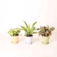 Angel Plant, Bright Rooms, Farms Living, Foliage Plants, Large Plants, Potting Soil, Growing Plants, Houseplants, Costa