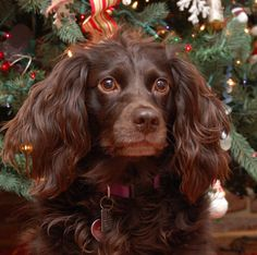 Absolutely gorgeous! Boykin Spaniel, Swamp Poodle, LBD / Little Brown Dog