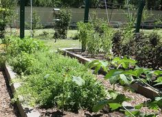 Avoiding toxic chemicals - Toxic Tomatoes: What Urban gardeners Should Know. How to Minimize Risk in Urban Gardening