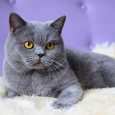 cat breeds | Smallest Cat Breed In Australia in Cats