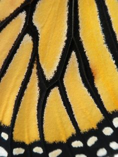 Monarch Butterfly wing right after this beauty hatched in my garden.
