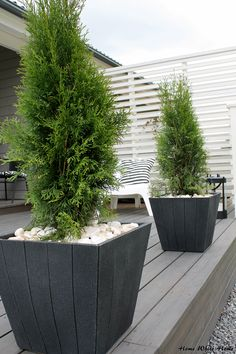 Cedar trees in containers with white stones