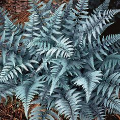 Ghost Lady Fern - Athyrium 'Ghost' is related to Japanese Silver-Painted Fern but even showier in the shadows. Tolerates dry conditions better than most ferns. Moon Garden, Dream Garden, Night Garden, Fern Plant, Plant Leaves, Lady Fern, Japanese Painted Fern, Shade Garden Plants, Fine Gardening