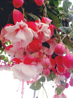 frolicingintheforest: Beautiful double Fuschia plants ✫♦๏☘‿WE Oct ༺✿༻☼๏♥๏写☆☀✨ ✤ ❀‿❀ ✫❁`💖~⊱ 🌹🌸🌹⊰✿⊱♛ ✧✿✧♡~♥⛩ ⚘☮️❋ Rare Flowers, Unique Flowers, Flowers Nature, Exotic Flowers, Amazing Flowers, Beautiful Flowers, Buy Flowers, Fuchsia Flower, Different Types Of Flowers