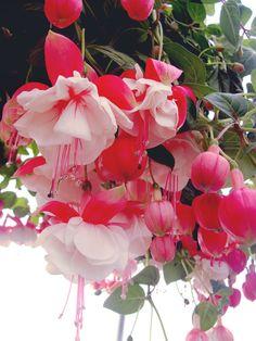 frolicingintheforest: Beautiful double Fuschia plants