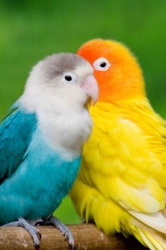 Beautiful Love Birds Pictures - Love Birds are very beautiful and unique forever. Lovebirds are good pets for everyone, Love birds songs seems someone playing the symphony on low volume. Colorful Parrots, Colorful Animals, Colorful Birds, Cute Animals, Small Birds, Cute Birds, Pretty Birds, Beautiful Birds, Animals Beautiful