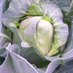 spring - Early Jersey Wakefield Cabbage 2g