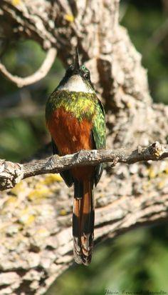 Série com o macho do Ariramba - Ariramba-da-cauda-ruiva - Bico-de-agulha - Bico-de-agulha-de-rabo-vermelho - Beija-flor-grande - Beija-flor-d'água (Galbula ruficauda) - Series with the male of the Rufous-tailed Jacamar 32 24-06-07 162 - 10