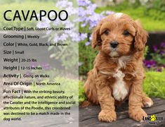 Find Cavapoo breeders through Lancaster Puppies. They offer puppies for sale in PA, Ohio and more. Cavapoo Puppies For Sale, Cockapoo Puppies, Cute Dogs And Puppies, Puppies Tips, Teacup Puppies, Small Puppies, Chihuahua Dogs, Goldendoodle, Best Puppies For Kids