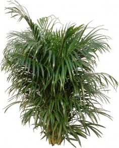 Children and Pets: Areca Palm gets its nickname, Butterfly Palm, because of its long feathery fronds.for Children and Pets: Areca Palm gets its nickname, Butterfly Palm, because of its long feathery fronds. Indoor Palm Trees, Big Indoor Plants, Indoor Palms, Outdoor Plants, Air Plants, Indoor Gardening, Palm Plant Care, House Plant Care, House Plants