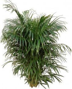 Full bushy Areca Palm Plant