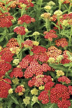 "Strawberry Seduction Yarrow - This impressive 'Seduction Series"" is the best we've seen. Plants have a compact, sturdy and robust habit. Yarrow is a hardy and versatile perennial and they are admirable performers in the garden. Very easy to grow, even if your thumb isn't 'green'.Summer & Part Fall Prennial"