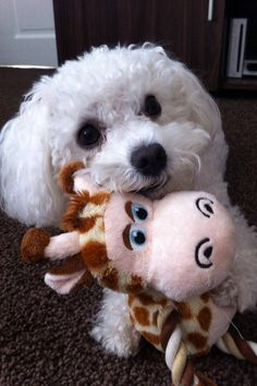 Let me whisper sweet nothings in your Ear... (Bichon Frise)