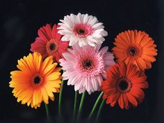 Gerbera Daisy, You are a Gerbera daisy! You are bright, cheerful, and most likely have a great sense of humor. Gerbera daisies are the 5th most popular flower in the world! They often represent friendship, cheerfulness, and innocence. | What Flower Are You?