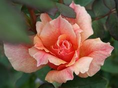 "Rosa """"Incredible"""""