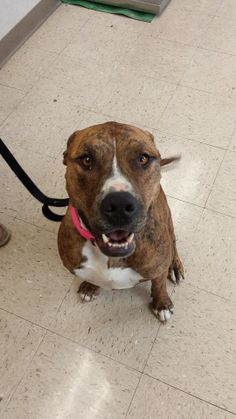 """Ft Hood, TX """"Lucy"""" American Bulldog mix. Spayed female, about 3 yrs old. Available now. Owner surrender"""