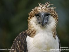 Philippine Eagle. Endangered. Only found in the islands of Philippine.