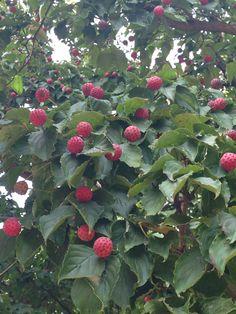9/19 ヤマボウシの実      果実は集合果で9月頃に赤く熟し、直径1~3センチで球形、食用になる。種子は約3ミリで、大きい果実には3~4個、小さい果実では1個入っている。果肉はやわらかく黄色からオレンジ色でありマンゴーのような甘さがある。果皮も熟したものはとても甘く、シャリシャリして砂糖粒のような食感がある。果実酒にも適する。
