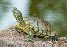 Google Image Result for http://www.turtlesale.com/home/uploads/images/duane/jumbo%2520pond%2520turtles/jumbo%2520red%2520ear%2520slider%2520turtles%2520for%2520sale%2520picture%25201%2520640-454.jpg