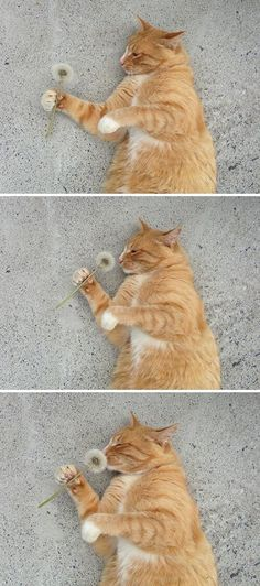 Cat Smelling A Dandelion cute animals cat cats adorable animal kittens pets kitten funny pictures funny animals funny cats