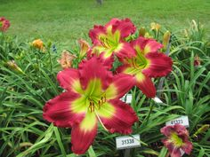 DAYLILY SEEDLINGS. To the right of the garden building we have four 60 ft. select seedling beds. Here we evaluate our own seedlings before making a final selection and introducing a new variety into the marketplace. This one is currently on schedule to be released in 2017. Come see our select seedling beds in late May or early June. No name yet, just a number 31338. #daylily