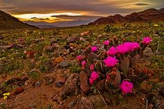 It is National Wildflower week! Death Valley, California is known as the lowest, hottest and driest place in the United States. But 2005 winter, record rains have created a wildflower bonanza, and people were flocking to the desert to see the show